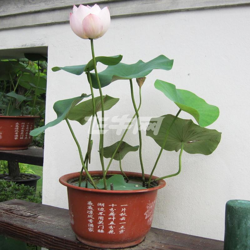水生花卉_水生花卉水培植物哪种牌子比较好价格